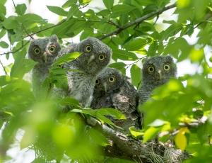 130501_Owls 0042
